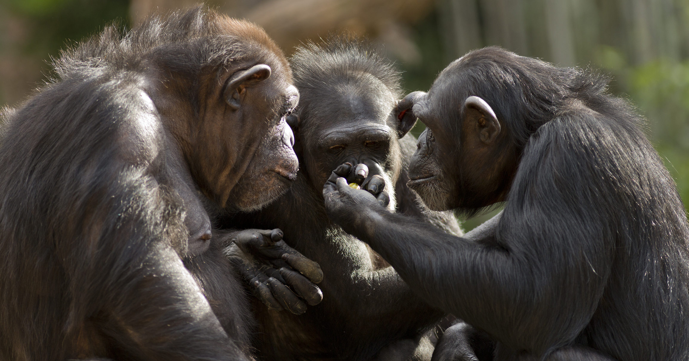 Wasted Potential: Researchers Have Announced That Apes Could Probably Talk If They Gave It Any Effort At All